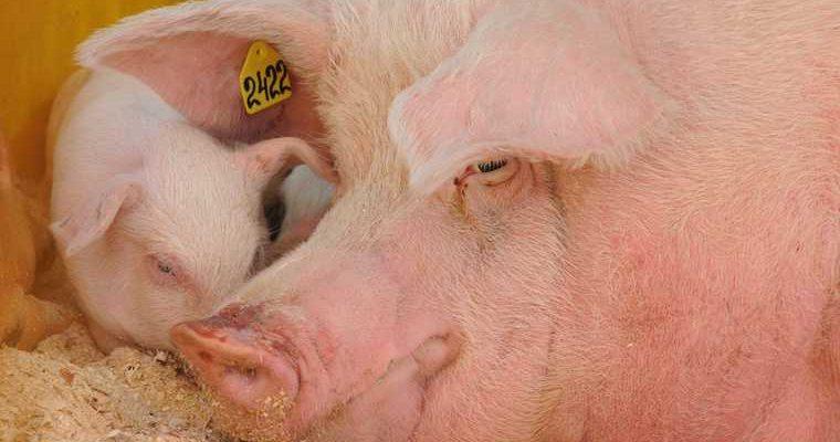 село Самарская область свиная чума